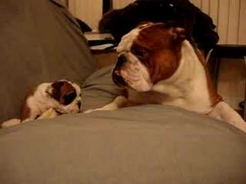 English Bulldog Father meets daughter first time
