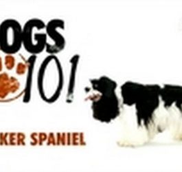 Dogs 101- Cocker Spaniel