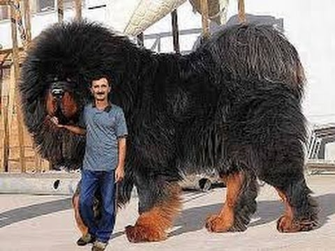 Top 10 Biggest Guard Dogs in the World - 2015