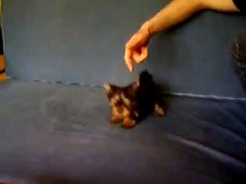 Biju - yorkshire terrier and  angry cat
