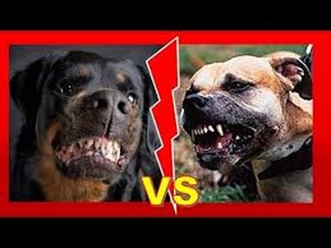 MASTIFF SIZE BULLY VS HUGE ROTTWEILERS   ROTTWEILER VS PITBULL -FIGHT