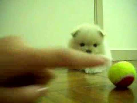 my POMERANIANS playing with super small tennis balls