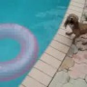 poodle falling into pool funny so cute