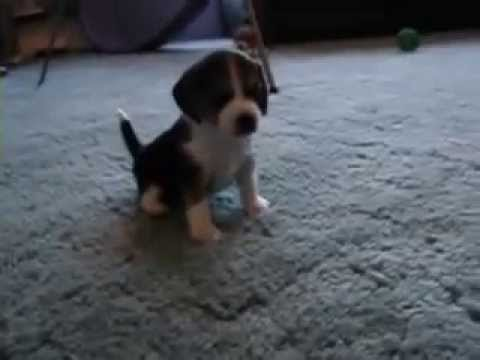 Tough Beagle Puppy