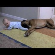 Linus the Boxer loves his baby