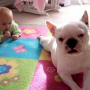 French Bulldog teaches baby to crawl