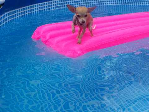 Swimming Chihuahua