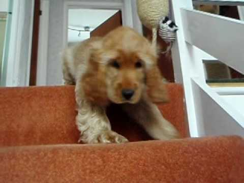 Cocker Spaniel - What Goes Up Must Come Down!