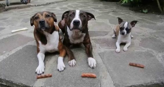 The Sausage Thief !! Elmo Staffy / The Greedy Chihuahua / from Staffy Lover
