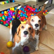 DOGS GET A LIVING ROOM BALL PIT WITH 2000 BALLS!
