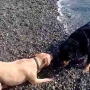 PIT BULL VS ROTTWEILER!!! TUG O WAR BATTLE!!!