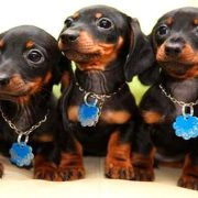 10 Funniest Dachshund Videos