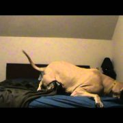 Waking Up an English Mastiff