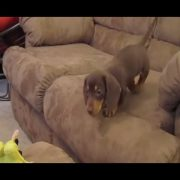 Dachshunds Are Awesome: Compilation