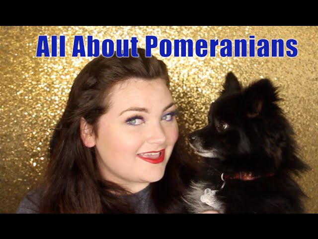 7 Things to know before adopting a Pomeranian