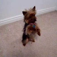 Smartest Yorkie Puppy Ever! Such A Yorkshire Terrier Dog
