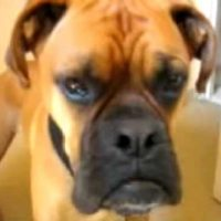 TALKING DOG! OSCAR THE BOXER