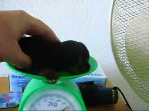 The smallest  yorkshire terrier puppy