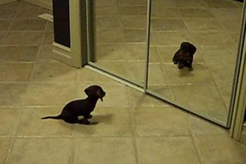 Mini Dachshund Puppy Vs