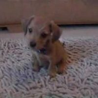 Minature dachshund puppy