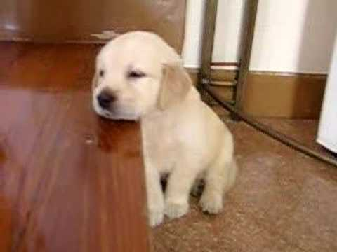 Cute Puppy falling asleep