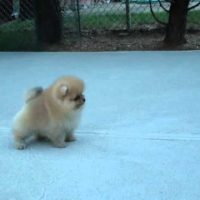 AKC Pomeranian Puppy - Benjamin at 8 weeks old
