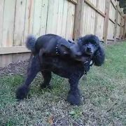 Chihuahua Humps Poodle