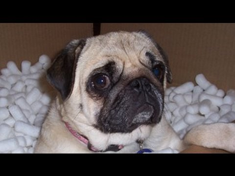 Pug Dog Scared by Fart!