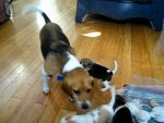 Beagle Puppies Playing with Mom