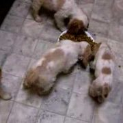 9 wk old Cocker Spaniel Puppies Eating/Playing