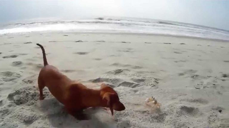 Madeline dachshund puppy with Crab
