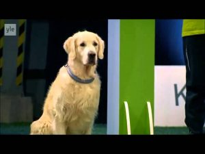 Hilarious Golden Retriever Really Wants To Race But