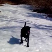 Black Lab dog body slides in the snow
