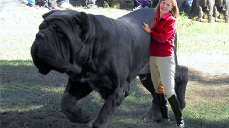 15 BIGGEST Dogs In The World