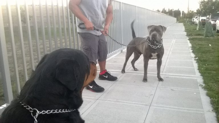 PIT BULL VS ROTTWEILER!!! MASTIFF SIZE BULLY VS HUGE ROTTWEILERS
