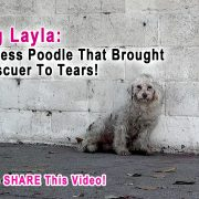 This Rescuer Was Brought To Tears When A Homeless Poodle Did The Sweetest Thing! Please Share!