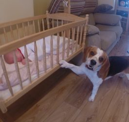 Cute dog puts his baby sister to sleep in a swing crib