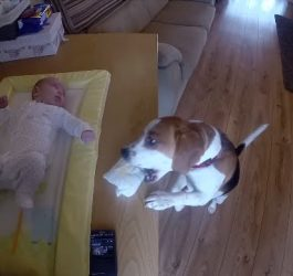 Smart Dog Helps Change Baby's Diaper