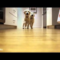 Golden retriever pups running for dinner, timelapse style
