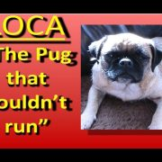 Loca the Pug singing