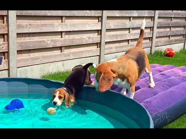 Beagle Pool Pawty Part 1!! 10 Week Old Puppy Feels Water For The First Time!