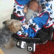 Yorkshire Terrier Misty Tucks in Her Mate