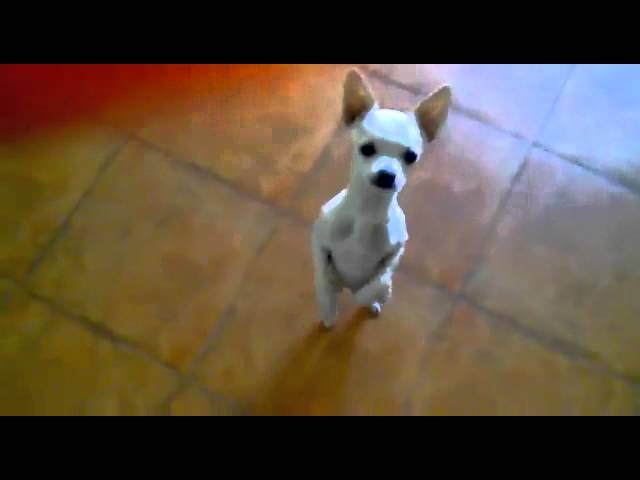 Cute chihuahua dancing Flamenco