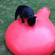 French bulldog pops giant water balloon