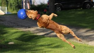 """Super"" Pit Bull: Training The Ultimate Protection Dog"