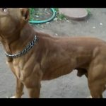 O poder do Pit Bull - The pit bull dog power (NEW)