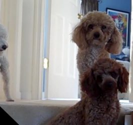 Poodles Are Awesome: Compilation