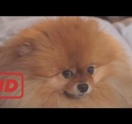 Funniest And Cutest Pomeranian Videos Compilation - Funny Dog Videos