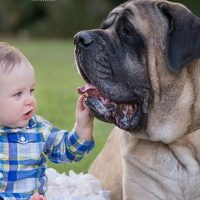 Baby and Mastiff Dog are the sound of laughter and happiness | Dog loves Baby Compilation