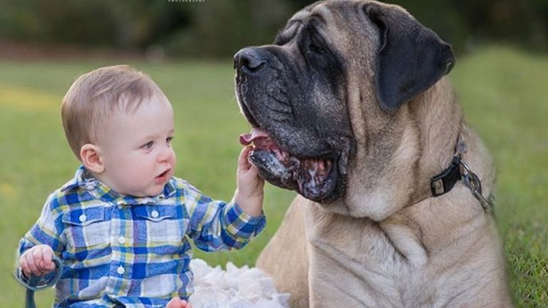 Baby and Mastiff Dog are the sound of laughter and happiness   Dog loves Baby Compilation